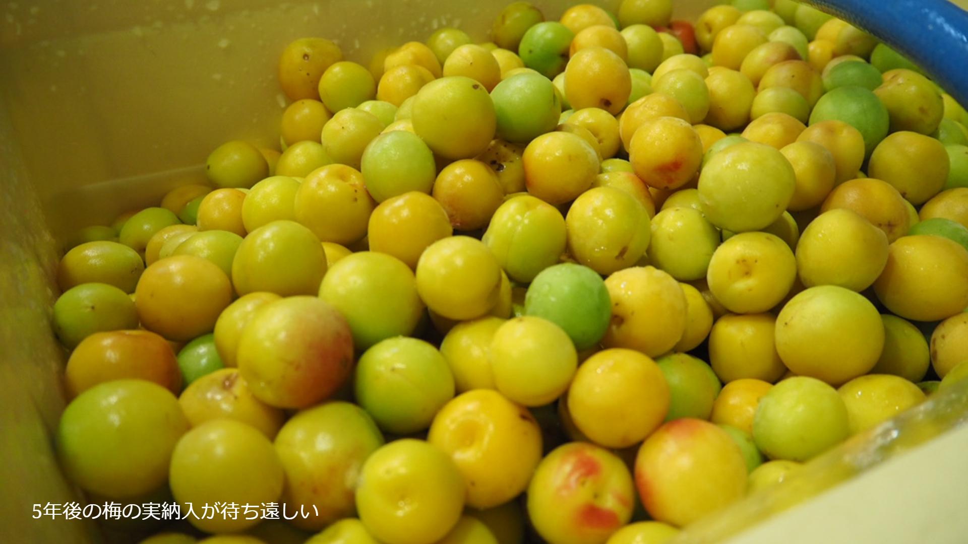 梅酒に使用される梅の実