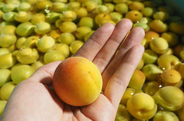 「竹葉 能登の梅酒」に使用される梅の実